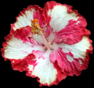 Hibiscus Hybrid Seeds White Magic x Black Dragon