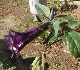 Purple Angel Trumpet Seeds 25