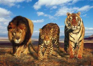 Lions Tiger Leopards Big Cats Africa Safari Poster A122
