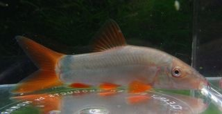 Redtail loach Live Freshwater Aquarium Fish