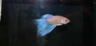Live Male Betta Fish 2