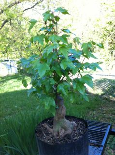 Nice Trident Maple Pre Bonsai Stock Tree