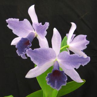 in Sheath Cattleya – Blue LC Mary Elizabeth Bohn Orchid Plant