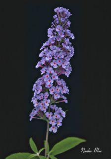 Butterfly Bushes Buddleia Nanho Blue