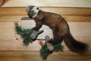 AWESOME WILD PINE MARTEN TAXIDERMY WALL MOUNT ANIMAL ART HUNT DEER