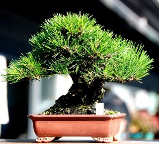Austrian Black Pine (pinus nigra dalmatica) 20+EXTRA seeds. Good for