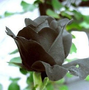 20 Seeds China Rare Black Rose Seed For Lover Black Rose Seed Fresh